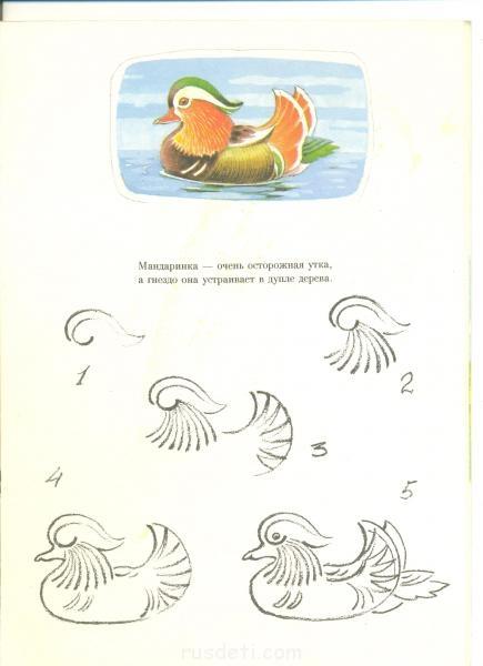утка мандаринка раскраска для детей птицы доклад о птицах
