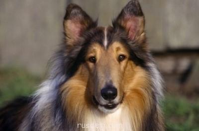 Какую породу собаки вы порекомендуете завести? - 41499.jpg