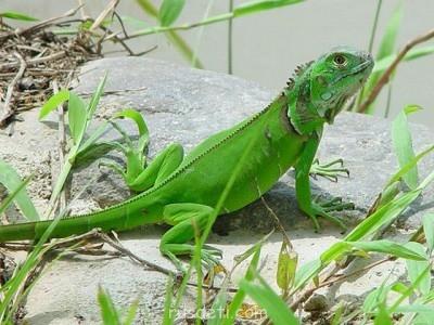 У кого есть дегу - iguana_zelenaya.jpg