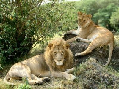Львы львята львици - 0_5b7cb_c654efe8_XL.jpg