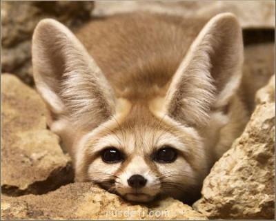 Очаровательные животные - Фенек (fennec fox) (24).jpg