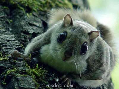 Очаровательные животные - obyknovennaya_letyaga_big.jpg