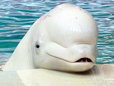 Очаровательные животные - dolphin-arctic-white-whale_4.jpg