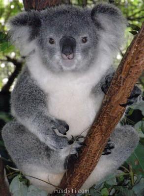 Очаровательные животные - koala_female.jpg