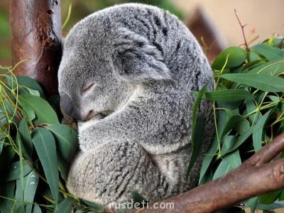 Очаровательные животные - koala_03.jpg