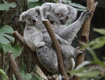 Очаровательные животные - Koala_pixanews-3.jpg